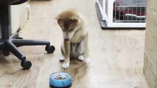 柴犬はちさん。 フェイントには引っかかりません。 http://eightdesign....