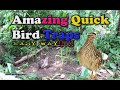 Amazing Quick Bird Traps 2017 ( 100% easy and working in the junggle)