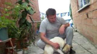 Samsun Ala Çoban Köpekleri ( KANGAL SAMSUN) 05447143055