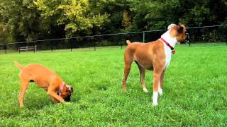 Dog Files: Ep.13: Northern Plains Boxer Rescue