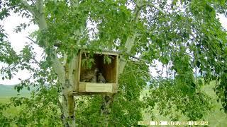 Гнездо балобана в ящике