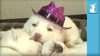 Baby Husky Puppy Wears Cowboy Hat, Falls Asleep - Puppy Love