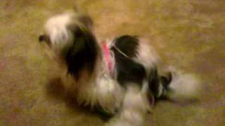 Girl Shih-tzu In Heat Humps Dog Toy