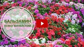 Бальзамин новогвинейский ➡ Особенности выращивания и ухода 🌺 Советы цветоводу от hitsadTV