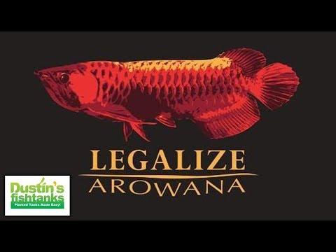 ILLEGAL Wild Caught Aquarium Fish: Red Arowana