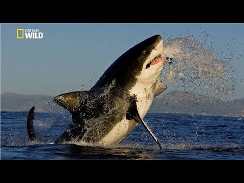 Savage Great White Shark [National Geographic New Documentary HD 2017]
