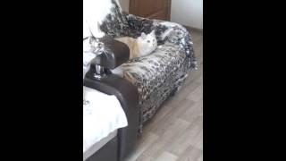 Кошки и коты курильского бобтейла