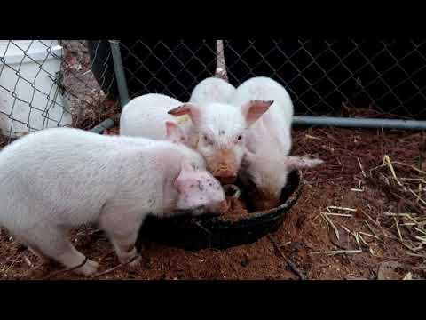 American Yorkshire Piglets
