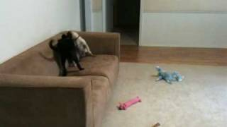 Bailey Pug Playing With Lab Mix
