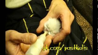 Выкармливание котёнка без кошки с рождения (Персидская кошка)