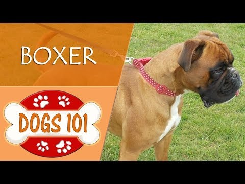 Dogs 101 - BOXER - Top Dog Facts About the BOXER