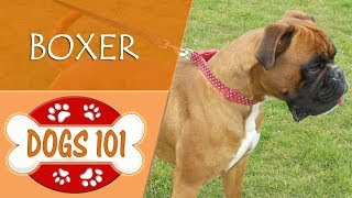 Dogs 101  BOXER  Top Dog Facts About the BOXER