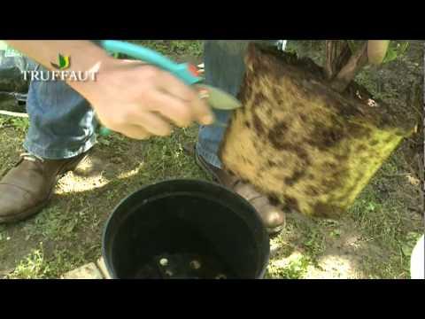 Le rhododendron : plantation et entretien - Jardinerie Truffaut TV