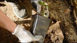 Jak sadzić i uprawiać powojniki
