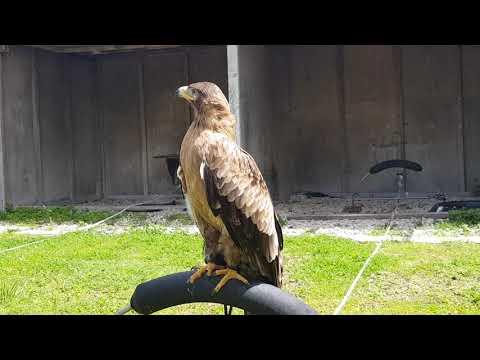 Asian tawny eagle
