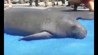 LIVE: Manatee and Her Baby Released Back Into The Wild   The Dodo