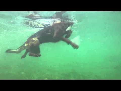 Dog swimming - GoPro
