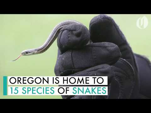 Meet The Snakes Of Oregon