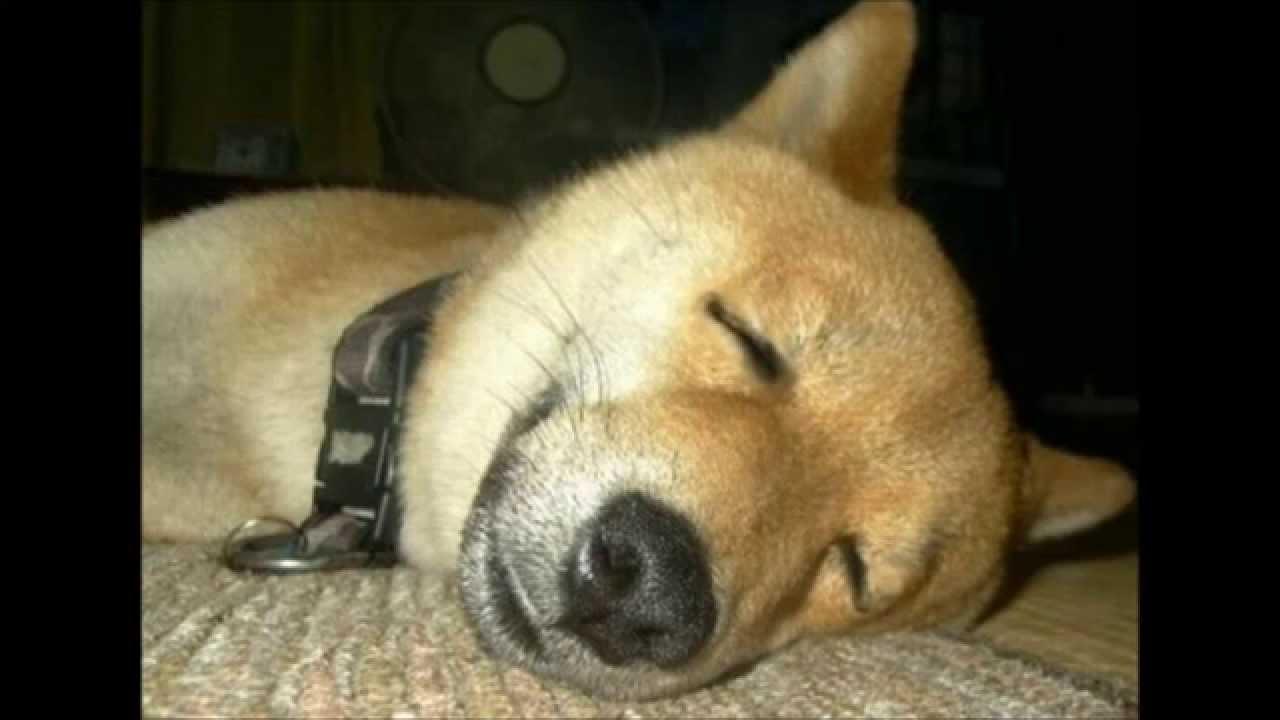 柴犬のおもしろ&かわいい画像・動画まとめ ...