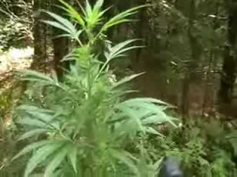 how to make a weed plant grow faster outdoors