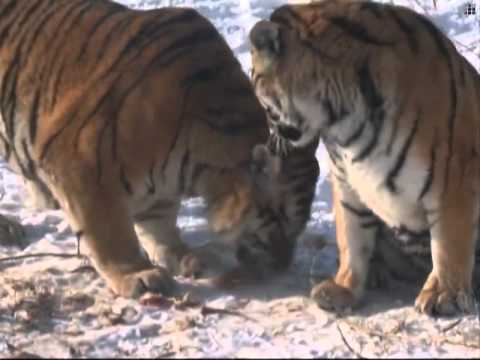 Siberian Tiger Population Grows In China