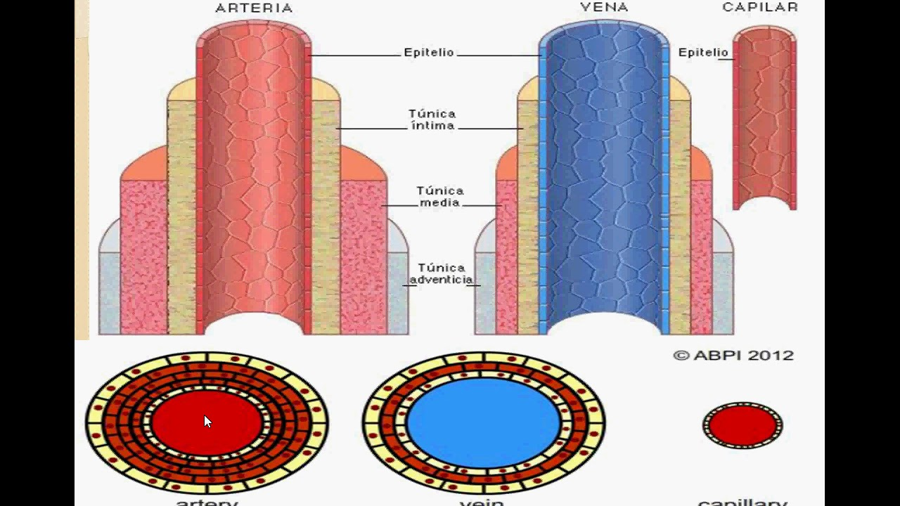 Venas, Arterias y capilares - YouTube