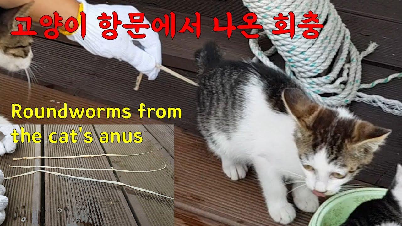 고양이 항문에서 50cm길이의 회충이 무더기로 나왔다