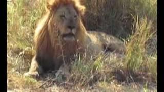 Лев замочил носорога
