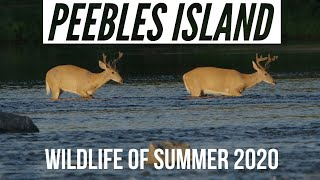 Peebles Island Wildlife Summer 2020 - Eagles, Foxes, Ospreys and more!