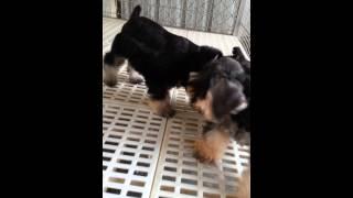 Puppies For Sale. Taiwanese Pedigree Miniature Schnauzer Puppies