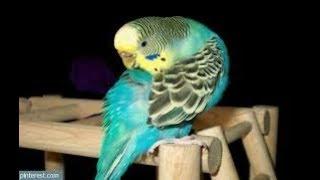 Muhabbet Kuşlarında Kanat Ve Kuyrukların Dökülme Hastalık Tedavi Sonuçları