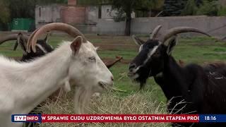"""""""Nie czuję się w niczym winny"""" – hodowca kóz z ekologicznej hodowli dla TVP Info"""