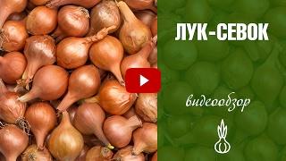 Лук севок чернушка ➡рассада из семян ✅ Выбираем лучшие семена лука с hitsadtv