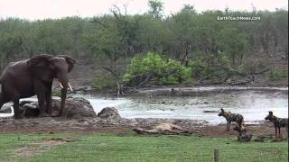 Wild dogs kill kudu (with an interruption from some elephants)