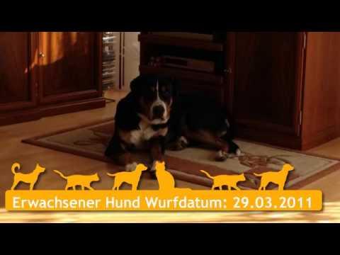 Großer Schweizer Sennenhund in Heidenheim an der Brenz