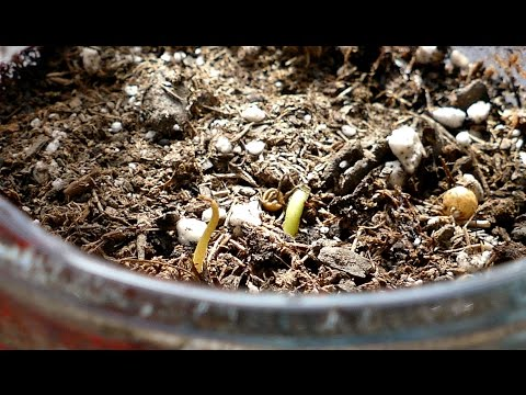 Growing Navel Orange Trees from Seeds, Days 0-25