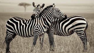 ANIMAL SAFARI | AFRICAN WILDLIFE SAFARI | MOST AMAZING WILD ANIMALS | SAVANNAH | SERENGETI