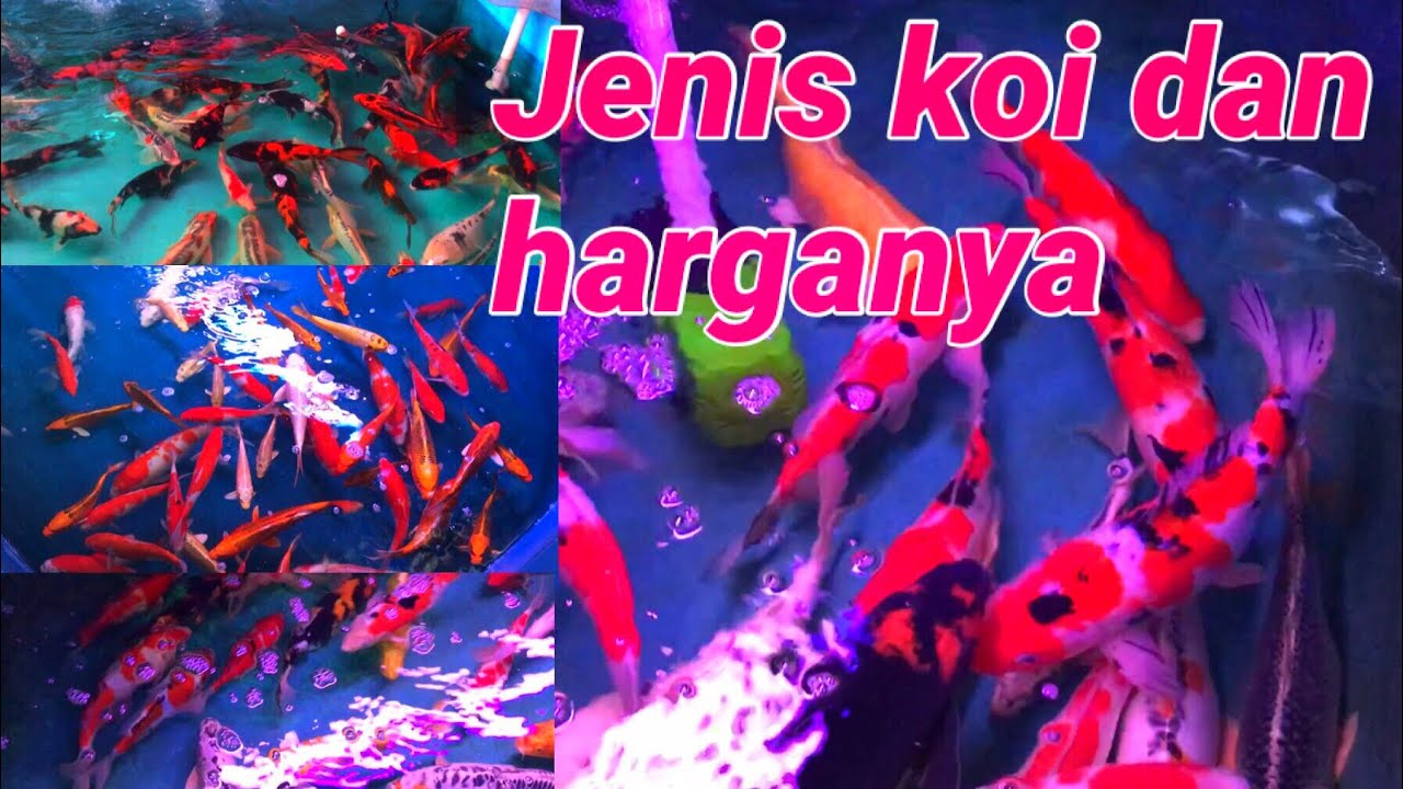 Mengunjungi pasar ikan hias terbesar di surabaya pasar ...