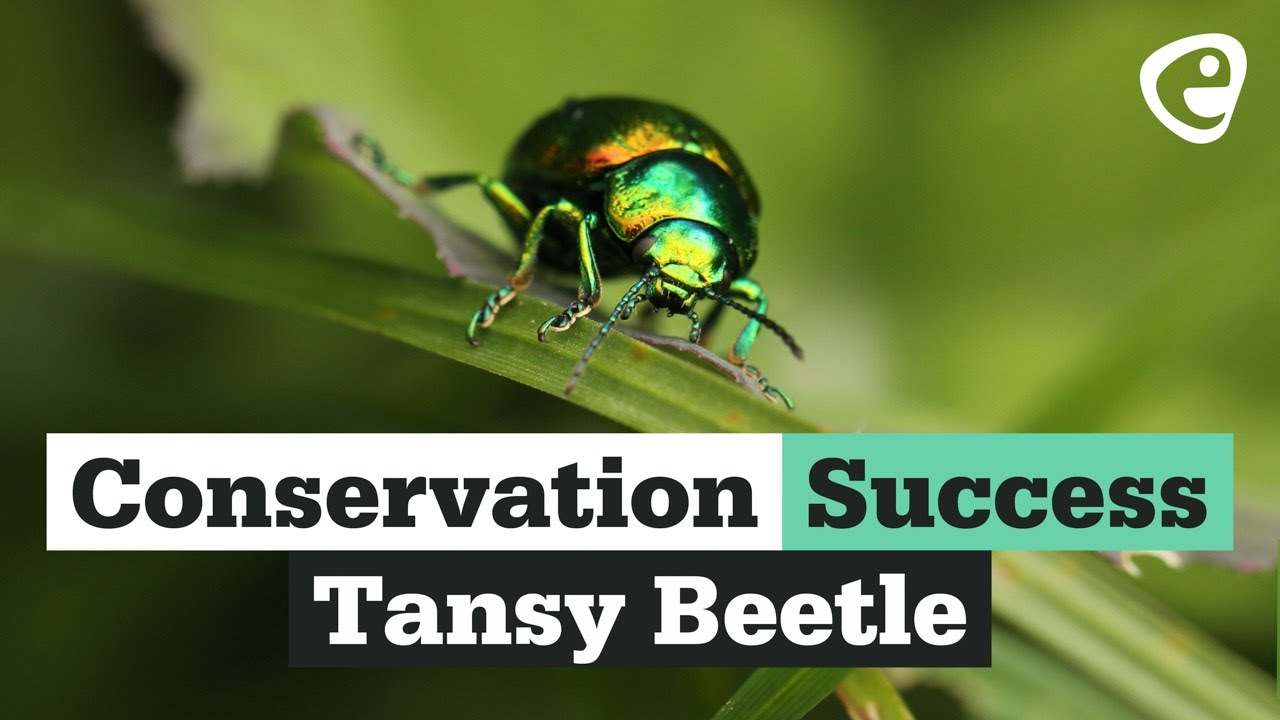 Conservation Success! The Tansy Beetle