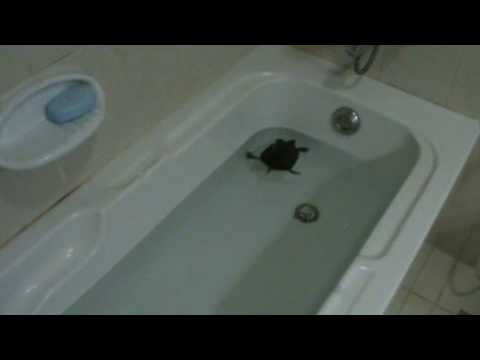 My Turtles In The Bath Tub Youtube
