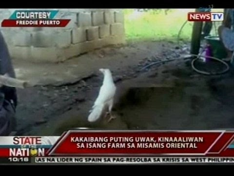 SONA: Kakaibang Puting Uwak, Kinaaaliwan Sa Isang Farm Sa Misamis Oriental