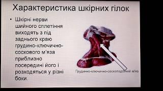 Характеристика спинномозкових нервів