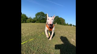 Pan the English Bull Terrier - Residential Dog Training