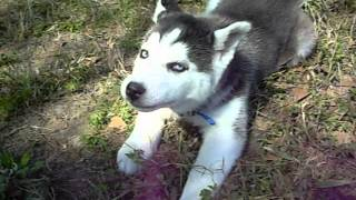 Rebel As A Siberian Husky Puppy!