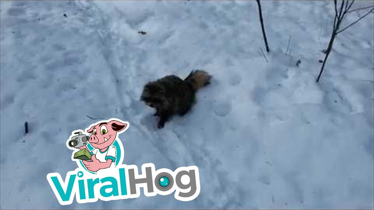 Raccoon Tussle