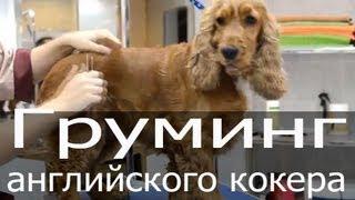 Груминг английского кокер спаниеля, стрижка, тримминг собак, груминг собаки