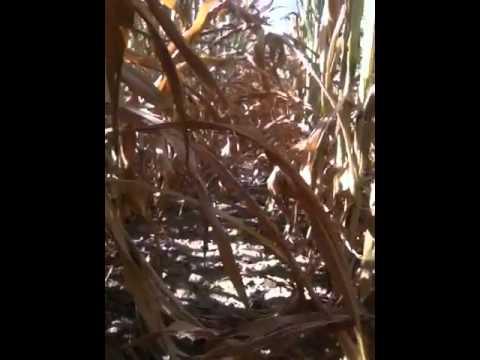 Tillers in corn