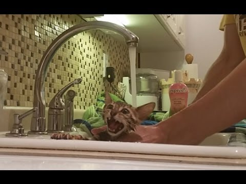 Baby Bengal Kitten Icy's 1st Bath