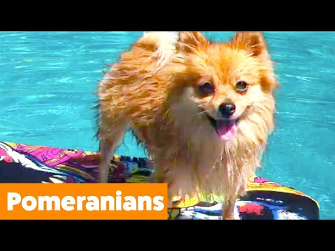 Silly Pomeranian Reactions & Bloopers | Funny Pet Videos