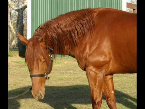 Mister T Man - Sorrel Appendix Quarter Horse Stallion with incredible pedigree!!!
